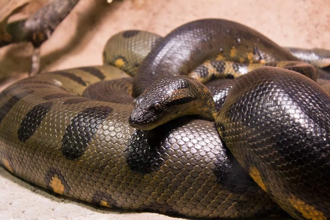 картинки живой анаконды кроватью