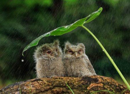 Маленькие совята под дождем (3 фото)