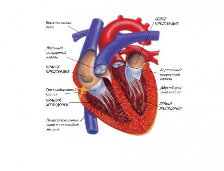 Интересные факты о сердце