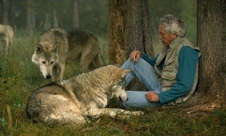 С волками жить ( 8 фото)